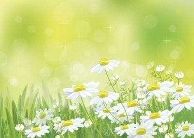Vector   beautiful chamomiles flowers.