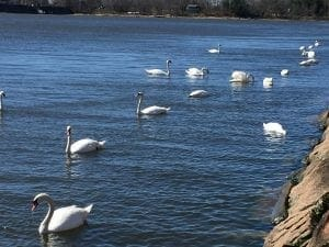 swans swimming inspiration for Swan by Mary Oliver and writing prompts