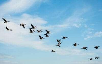 The Geese Jorie Graham